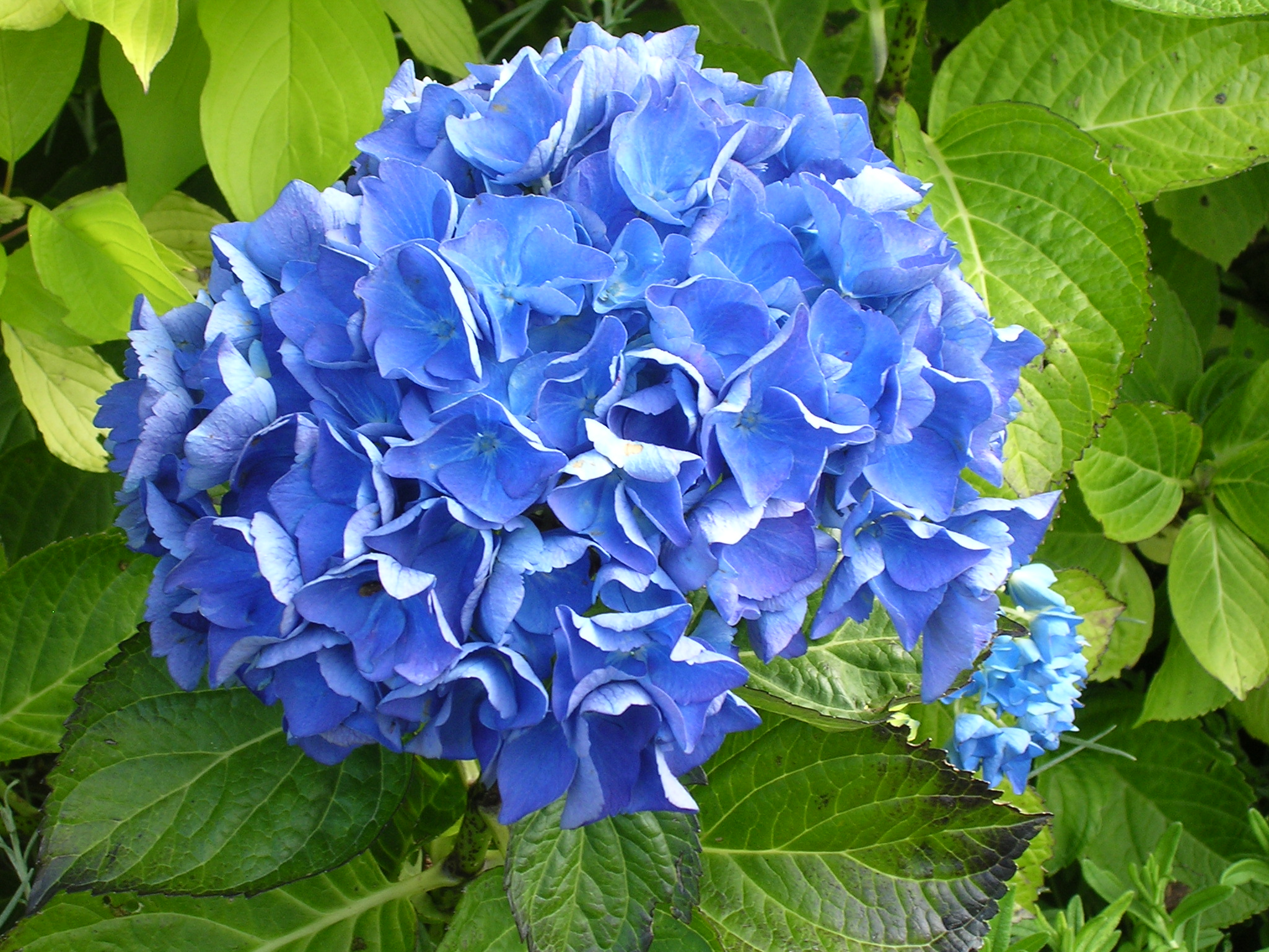 blue flowers free
