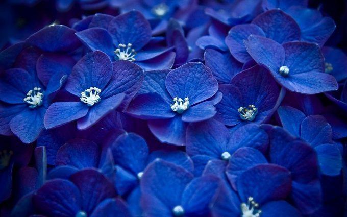 blue flowers hydrangea