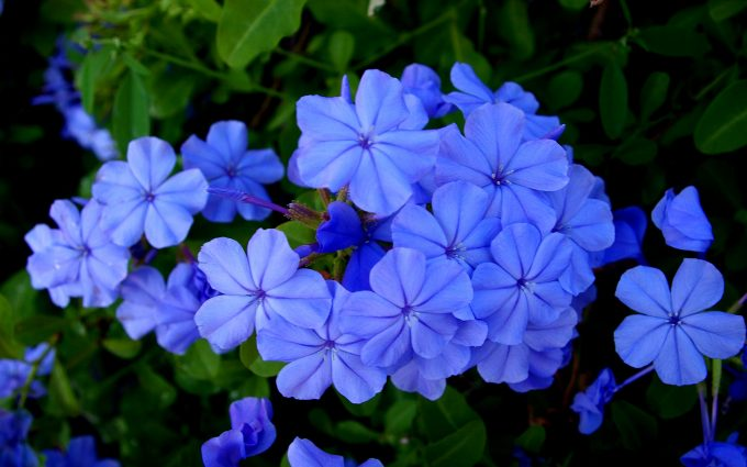 blue flowers images