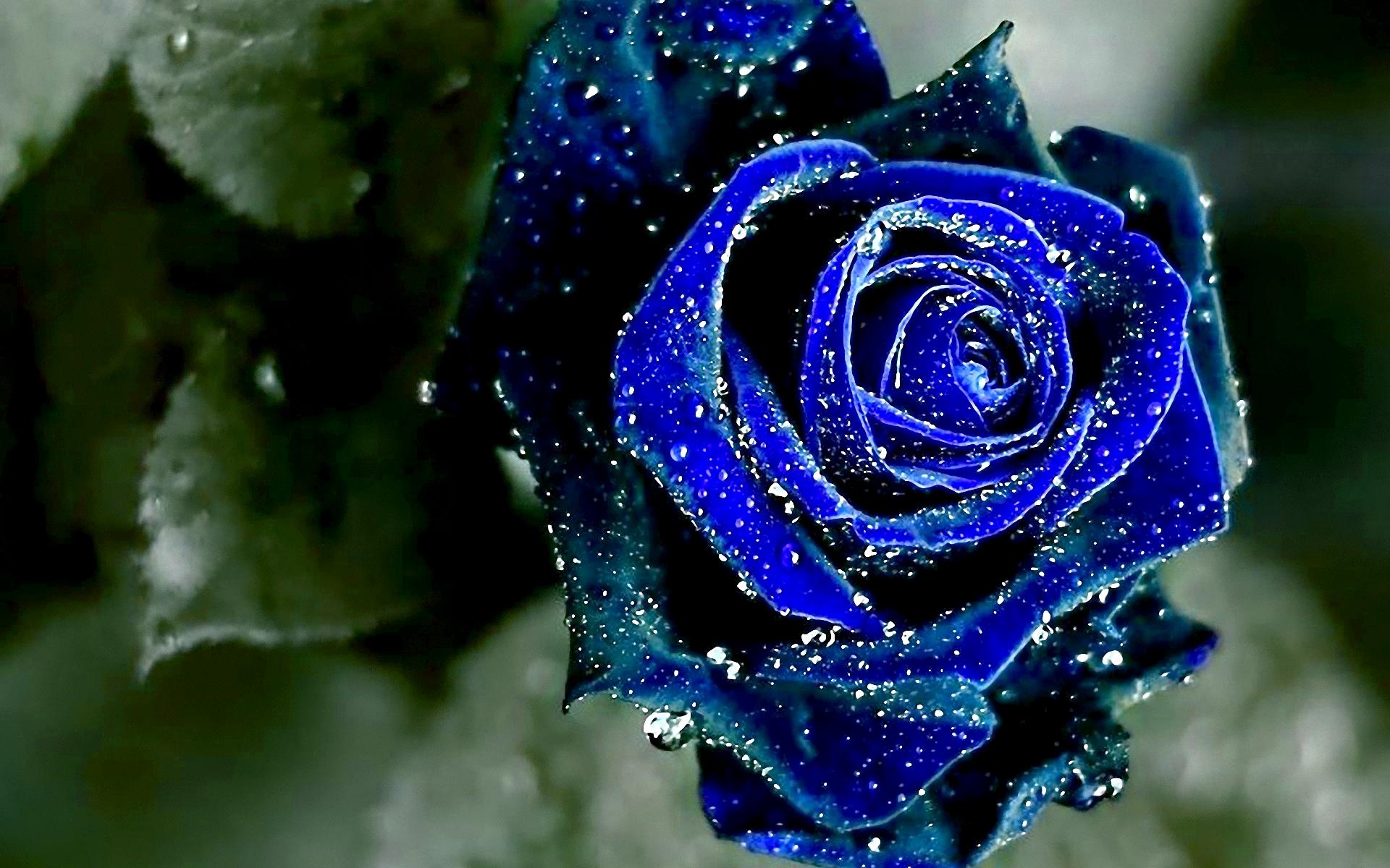 blue rose wallpapers flower