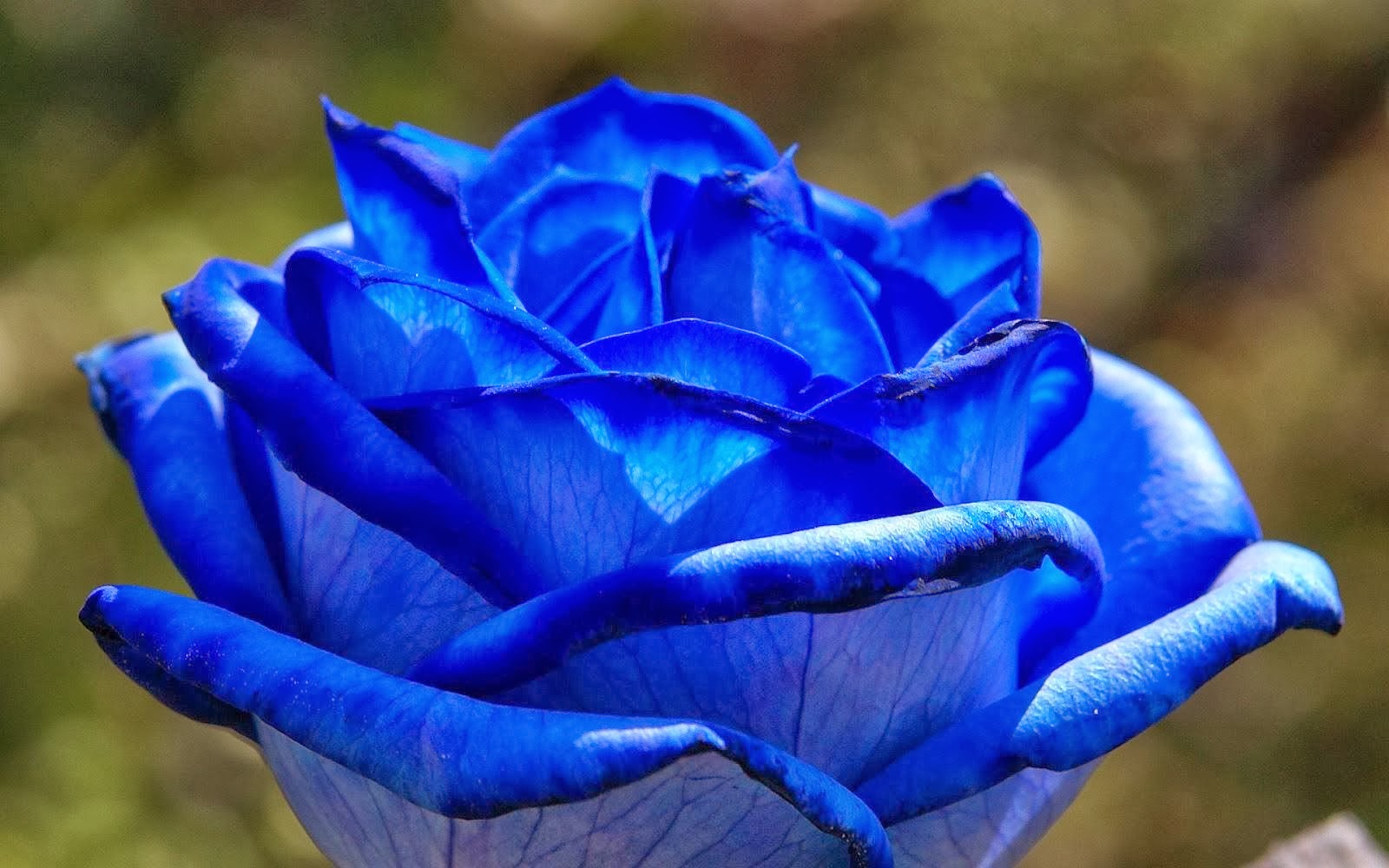 blue rose wallpapers - hd desktop wallpapers | 4k hd