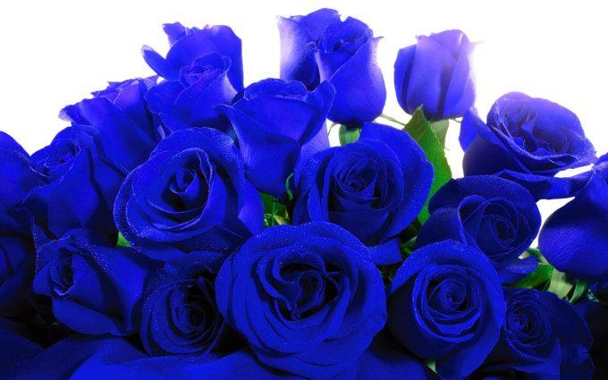 blue roses wallpaper