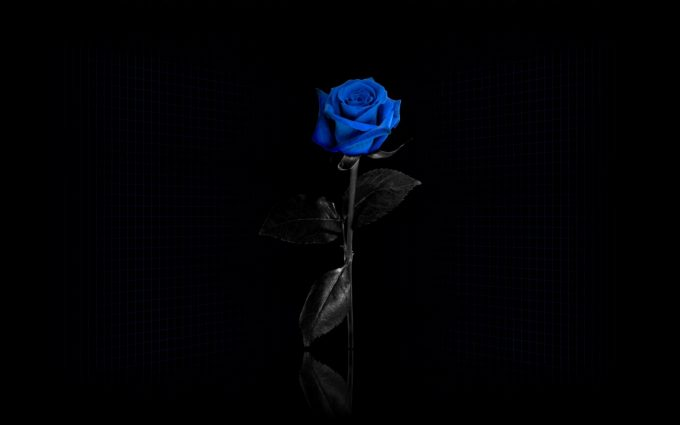 blue roses wallpapers 1080p