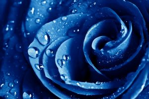 blue roses wallpapers