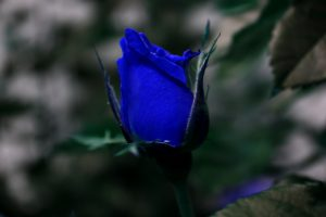 blue roses wallpapers beautiful