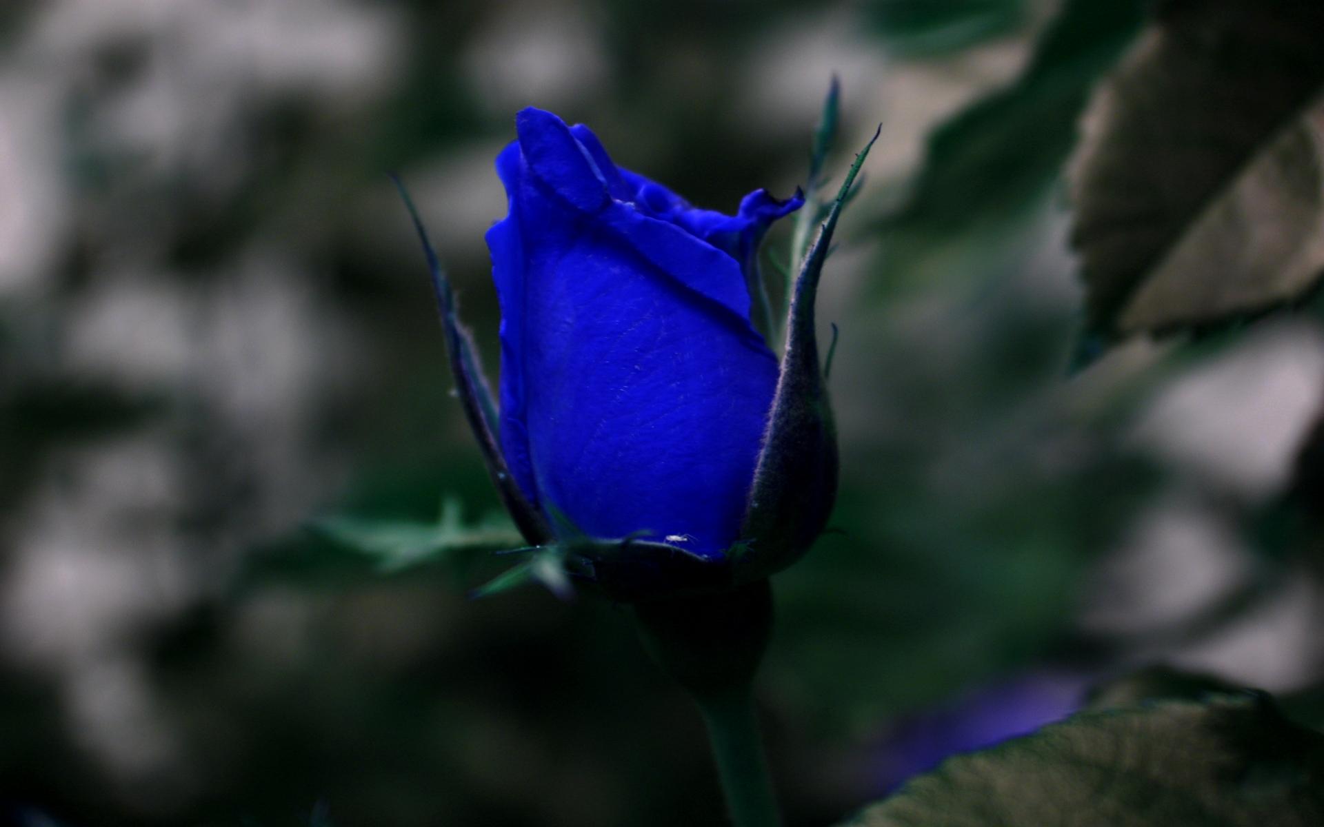 blue roses wallpapers beautiful