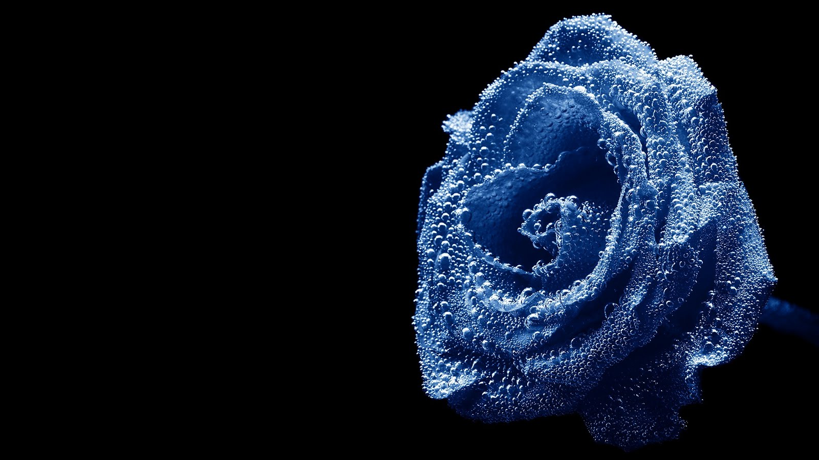 blue roses wallpapers flower