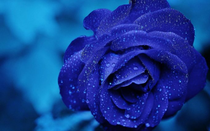 blue roses wallpapers hd