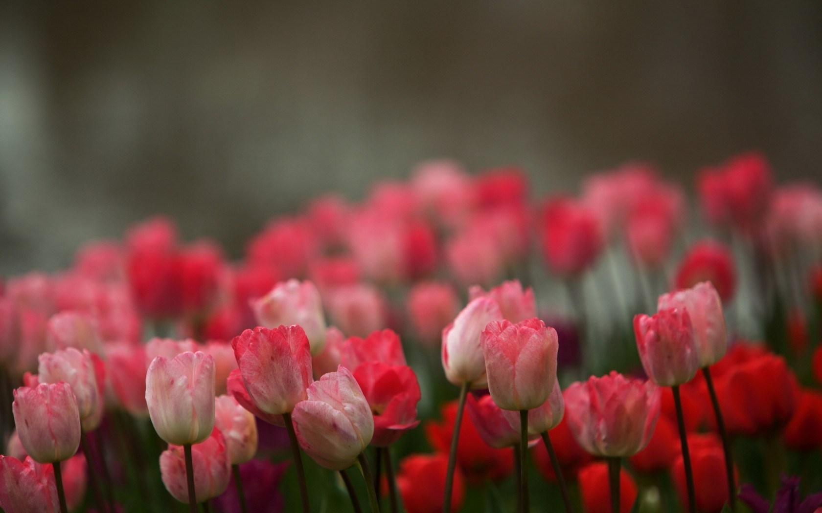blur field tulips