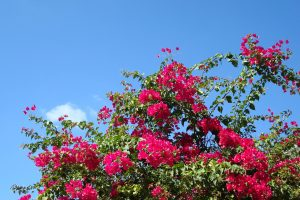 bougainvillea background