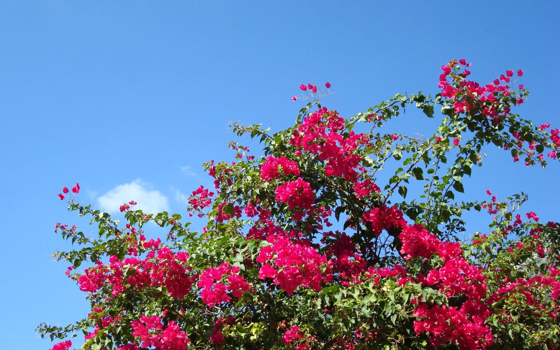 bougainvillea background