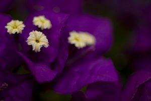 bougainvillea flowers brazil