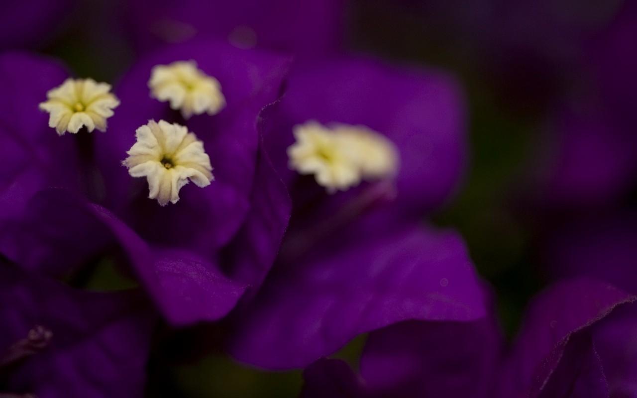 bougainvillea flowers nature