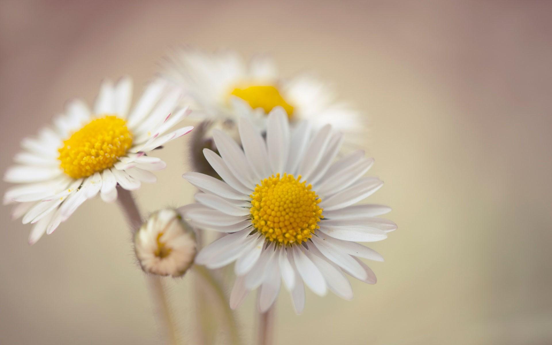 bouquet flowers daisies