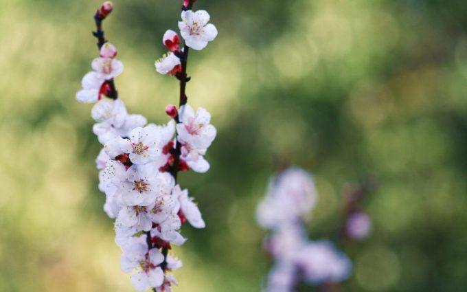 branch flowers cherry