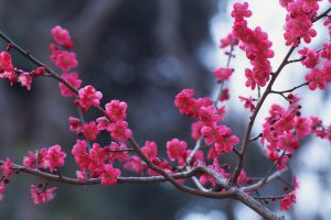 branches flowers pink spring nature