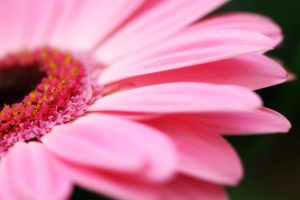 bright flowers pink A1