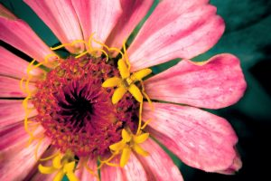 bright flowers pink A5