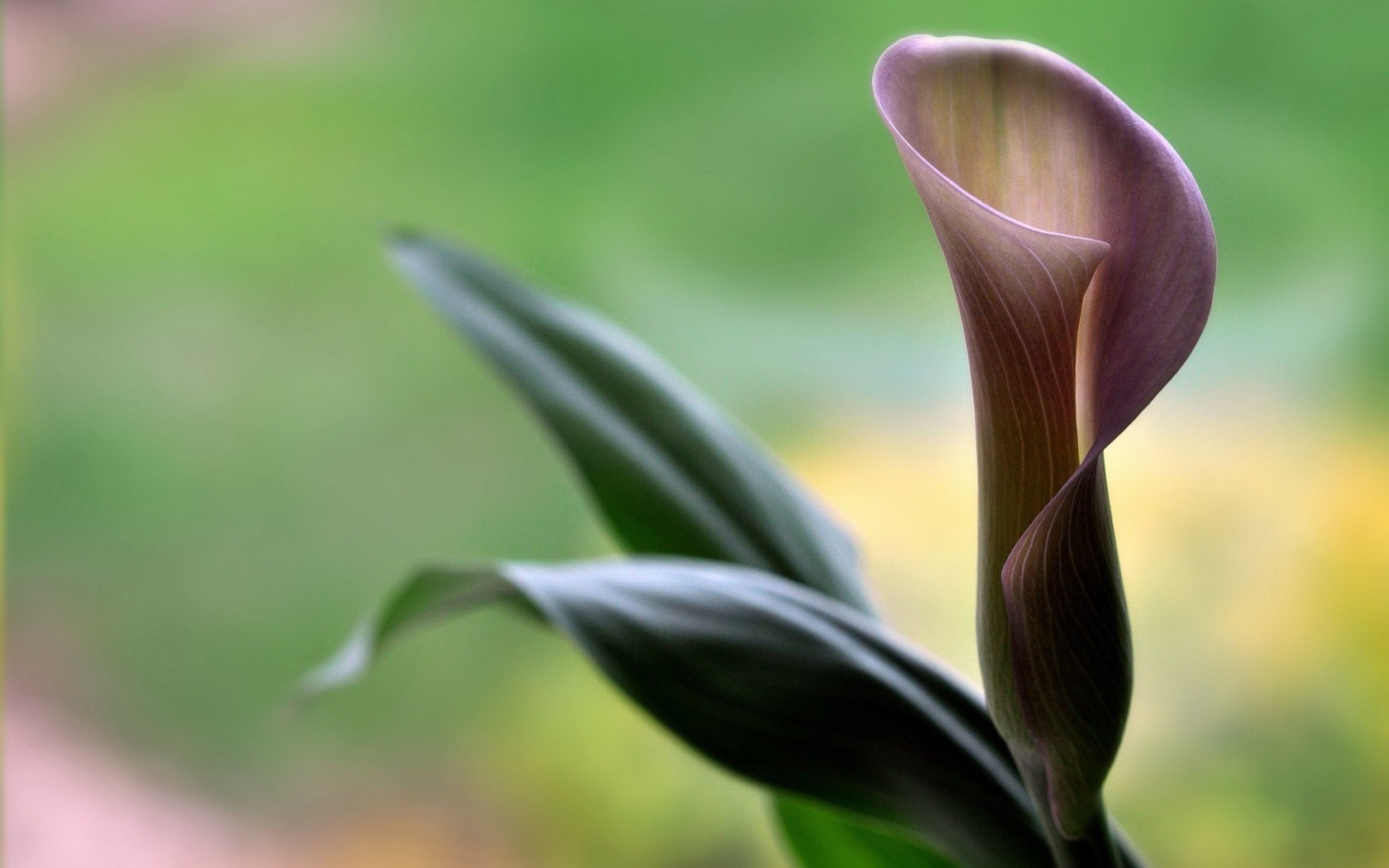 calla flower close up