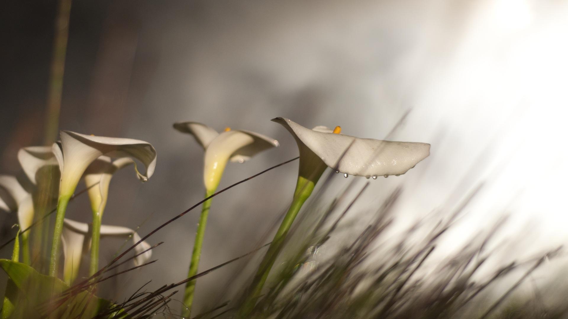calla lilies flowers wallpaper
