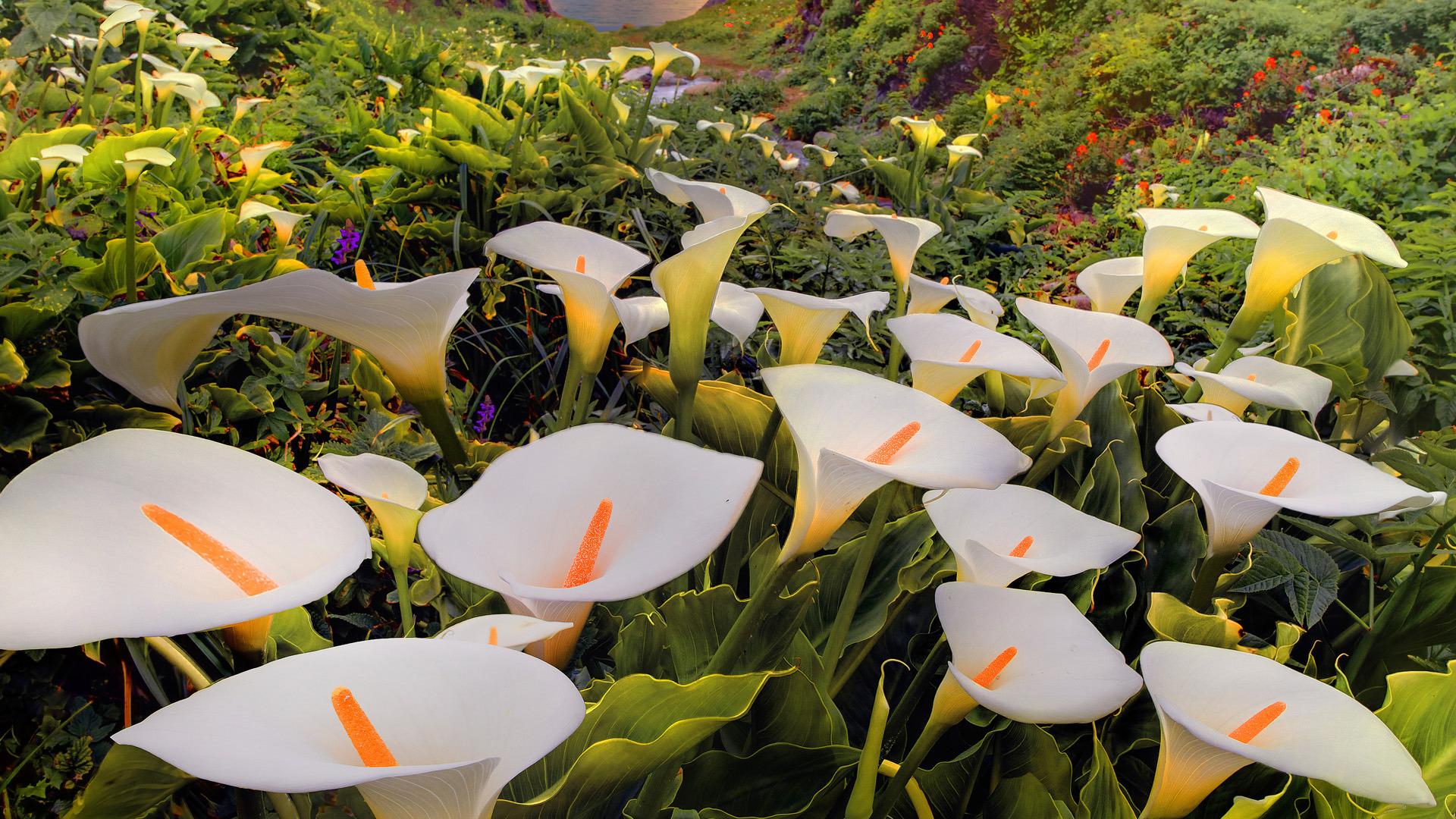 calla lilies image