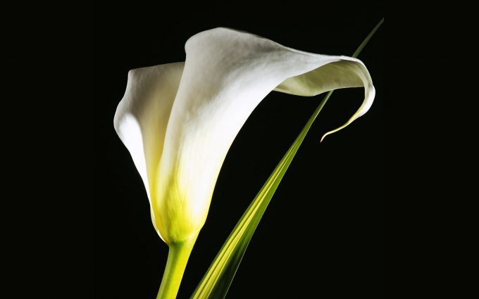 calla lilies images