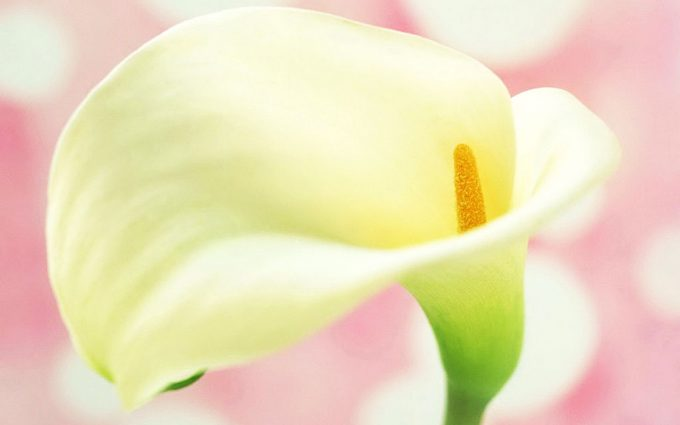 calla lilies pictures