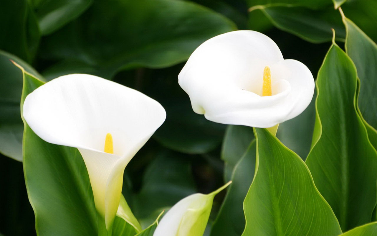 calla lilies wallpaper cute