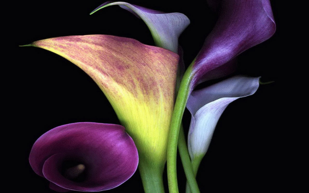calla lilies wallpaper flowers