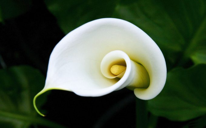calla lilies wallpaper hd