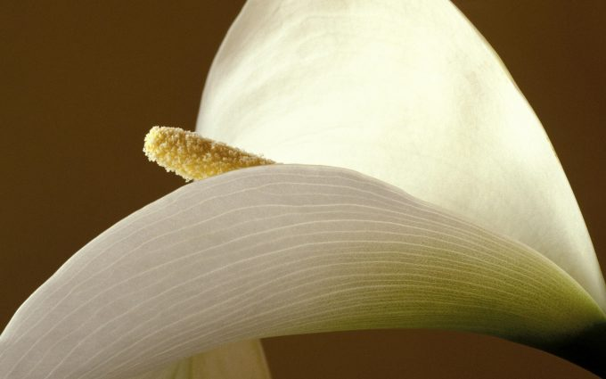 calla lilies wallpapers