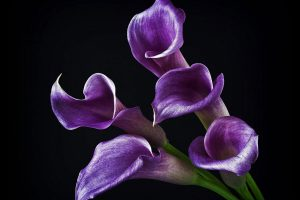 callas flowers
