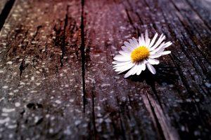 chamomile flower hd