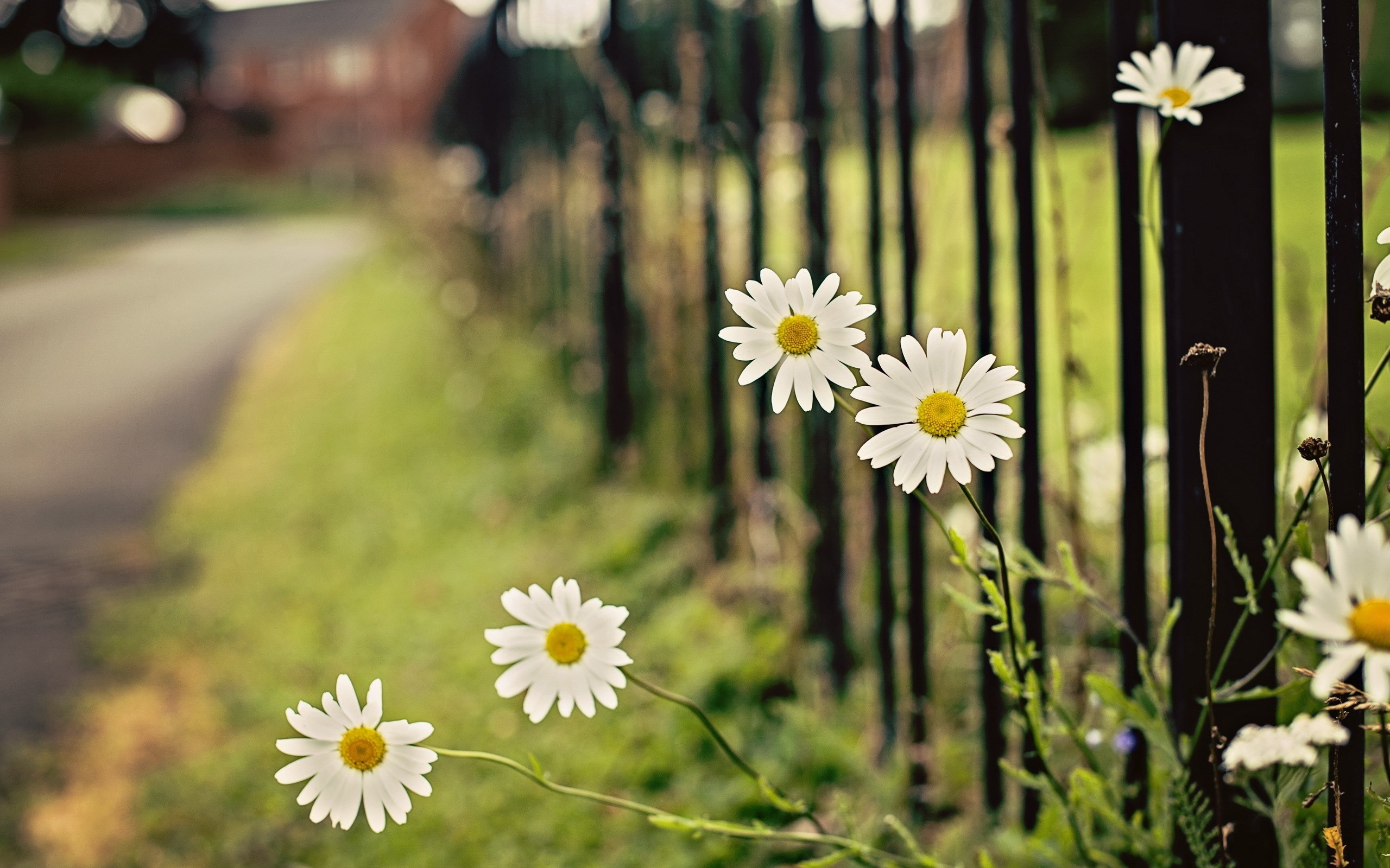 chamomile flowers fence HD Desktop Wallpapers