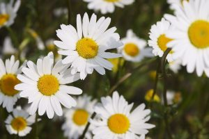 chamomile flowers white