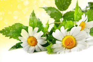 chamomile wallpaper download