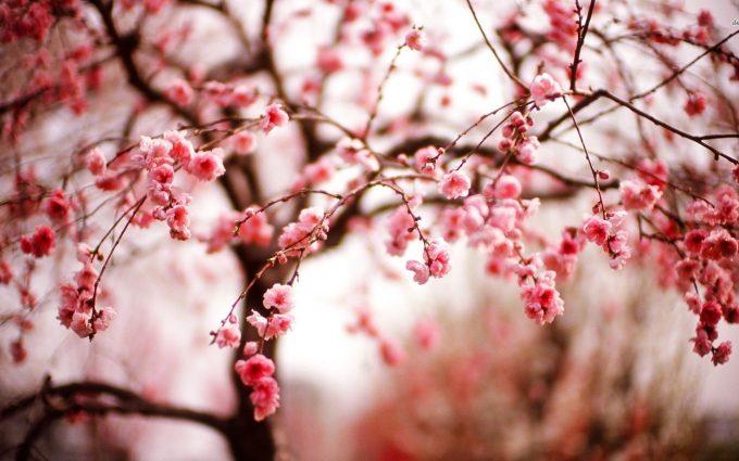 cherry blossom autumn