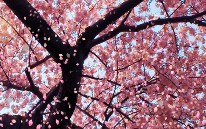 cherry blossom background download