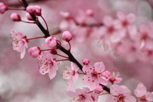 cherry blossom desktop background