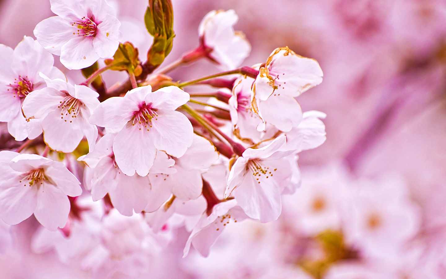 cherry blossom desktop wallpaper