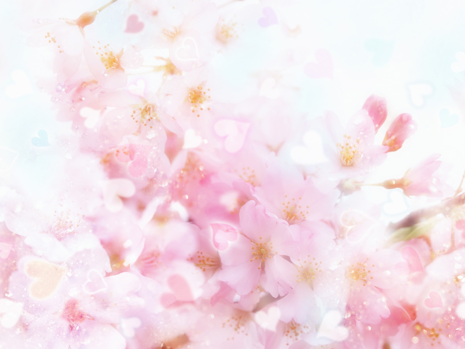 cherry blossom desktop wallpapers