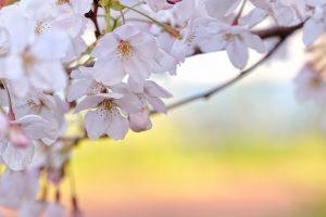 cherry blossom flower A1