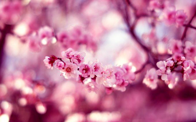 cherry blossom flower A3