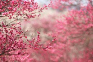 cherry blossom flower A4
