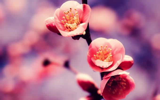 cherry blossom flower A6