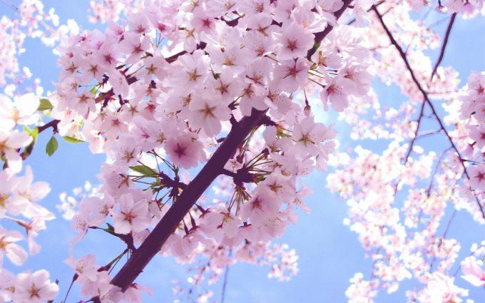 cherry blossom image