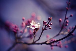 cherry blossom wallpaper cute