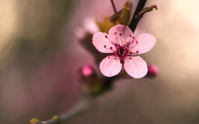 cherry blossom wallpaper download