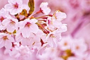 cherry blossom wallpaper hd