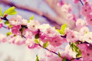 cherry blossom wallpaper pink